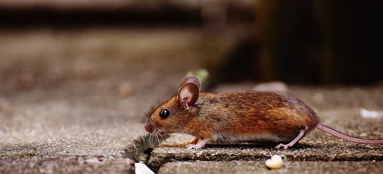 Why Are House Mice Dangerous?